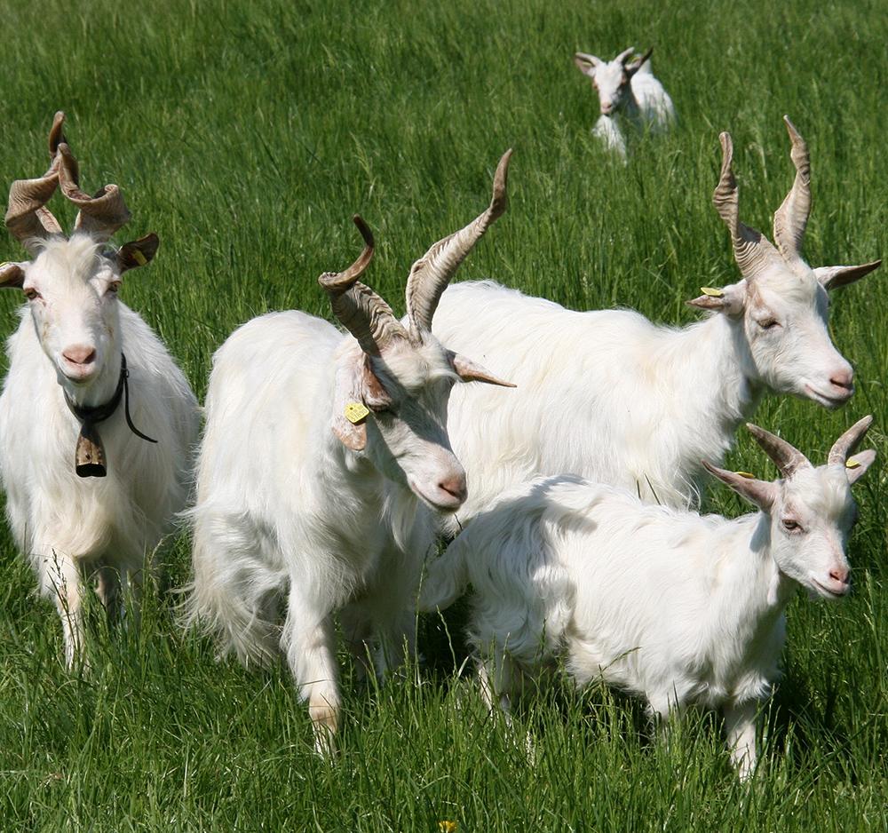 La capra Girgentana